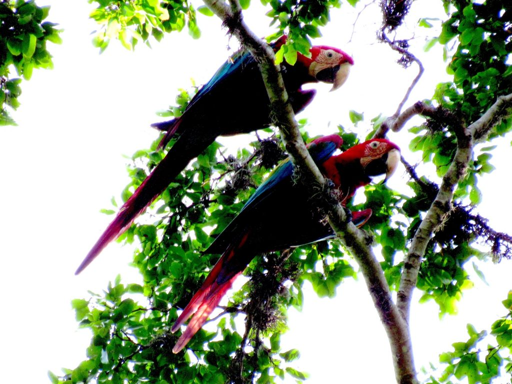 Ara chloropterus (pareja) Red-and-green Macaw - Jose L. Ropero