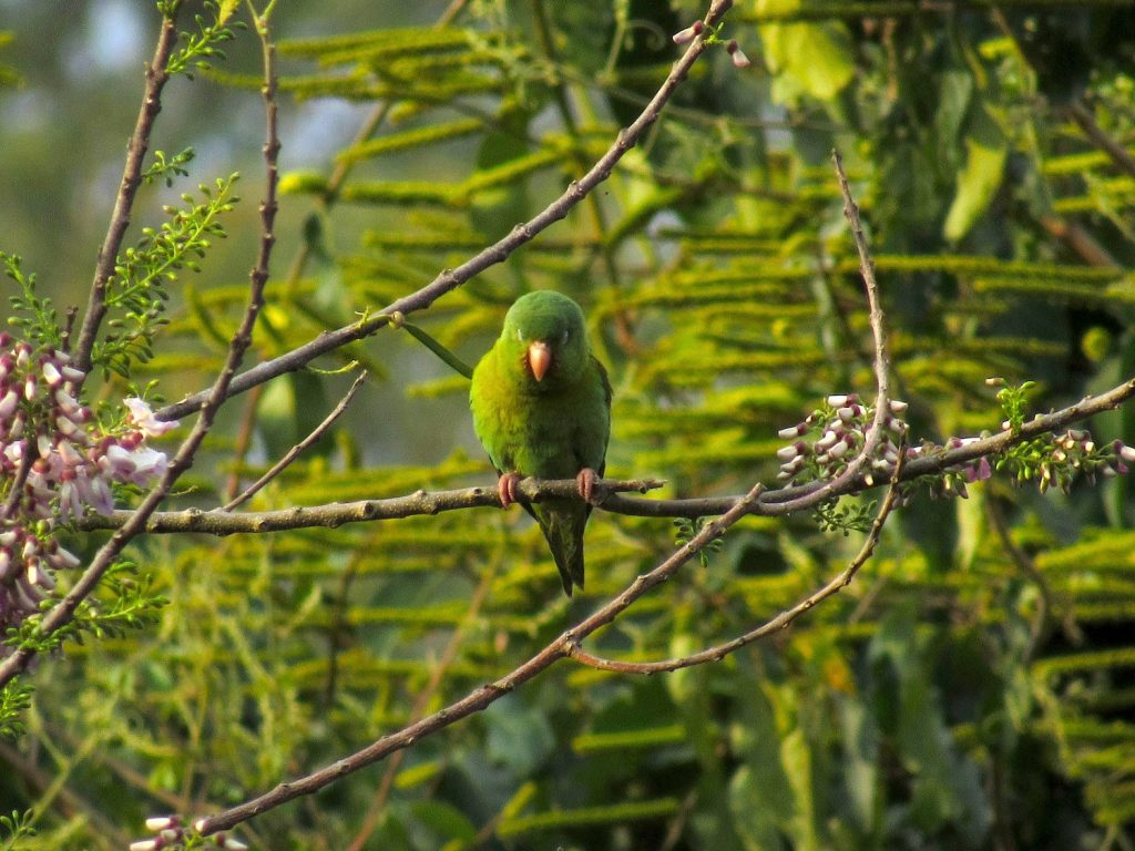 Brotogeris jugularis Orange-chinned Parakeet - Jose L. Ropero