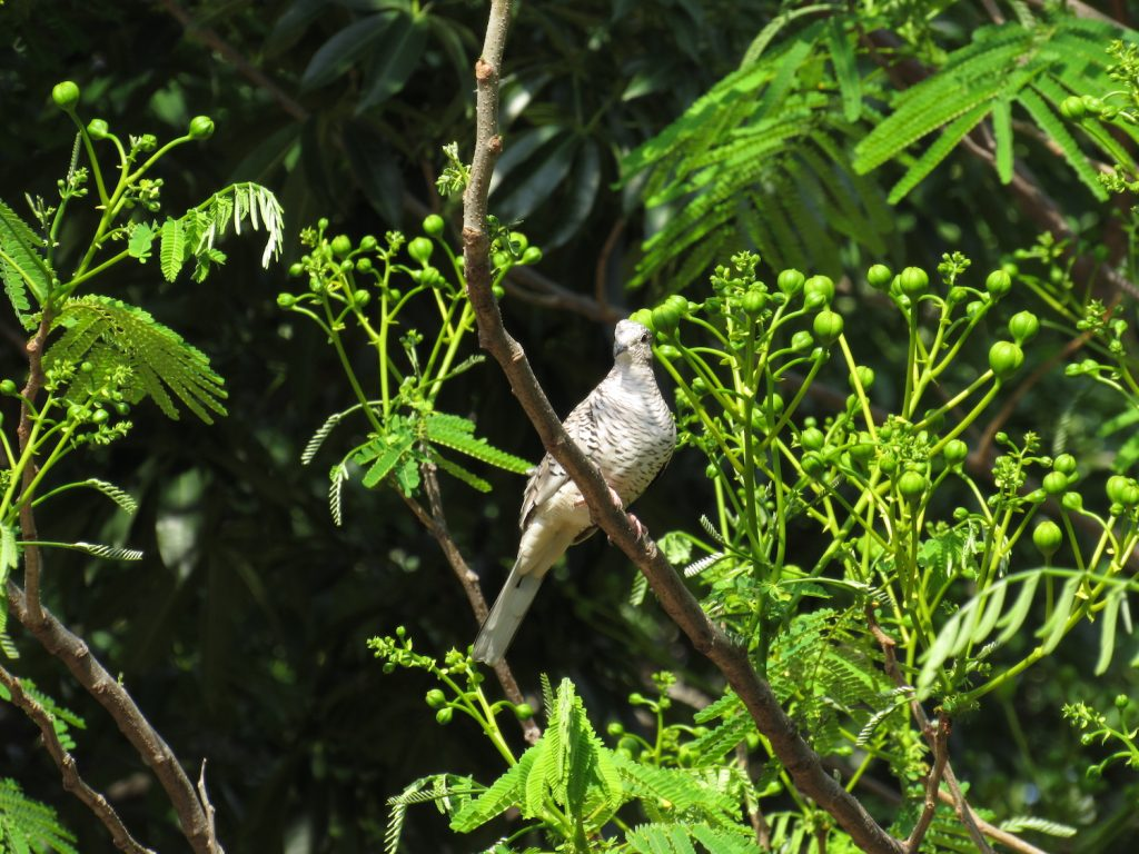 Columbina squammata Scaled Dove - Jose L. Ropero