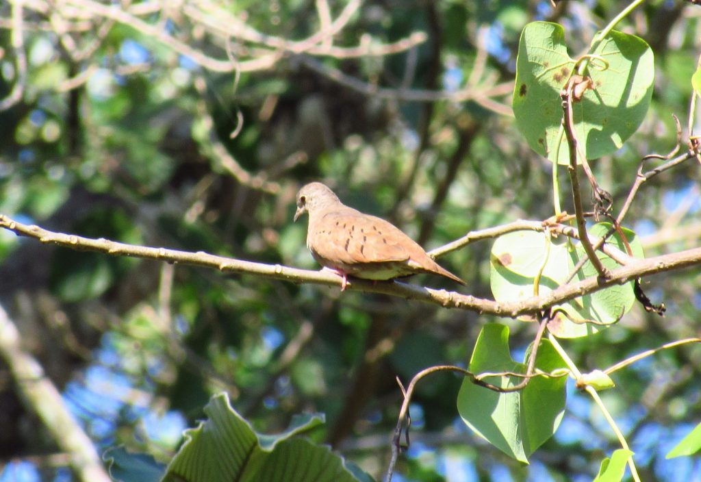 Columbina talpacoti Ruddy Ground-Dove - Jose L. Ropero