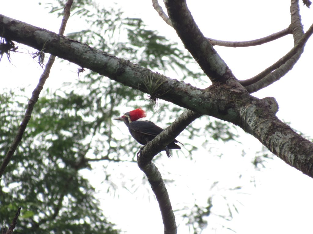 Dryocopus lineatus (hembra) Lineated Woodpecker (female) - Jose L. Ropero