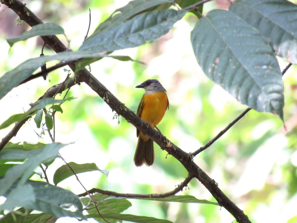 Eucometis penicillata Grey-headed Tanager2 - Jose L. Ropero