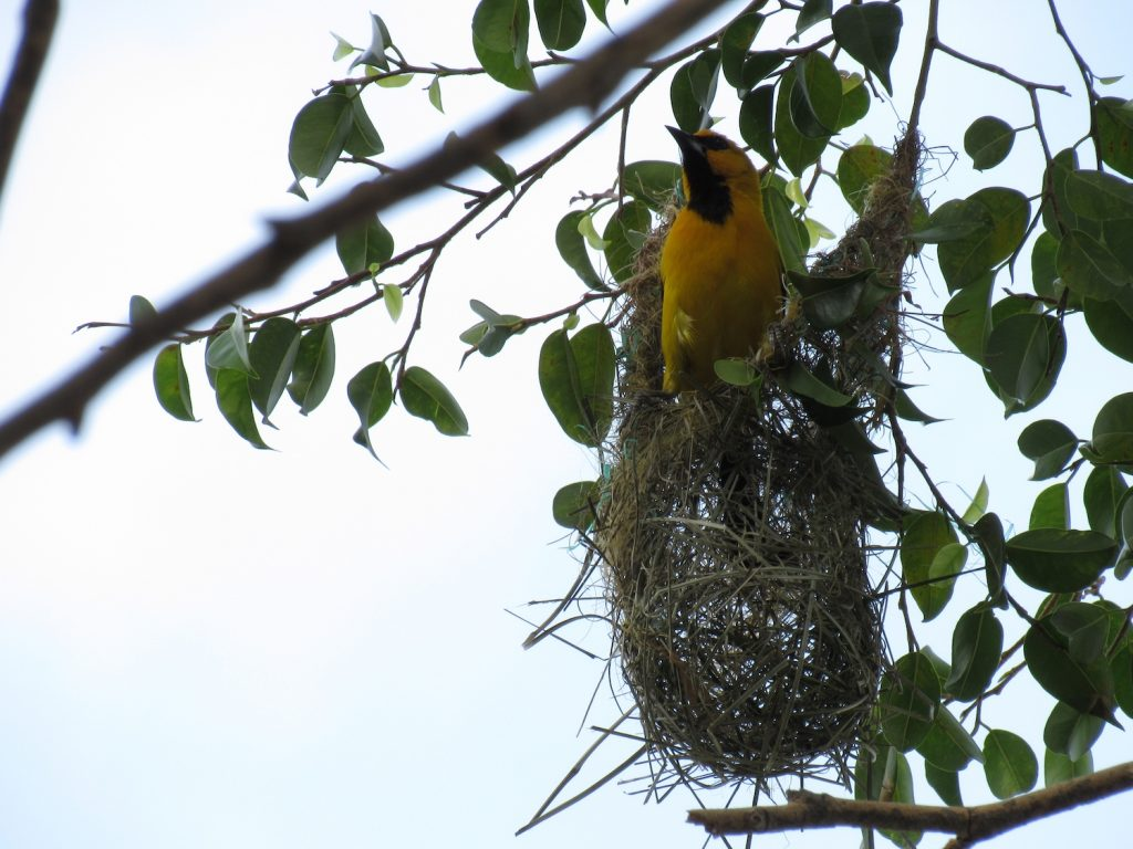Icterus nigrogularis (nido) Yellow Oriole (Nest)- Jose L. Ropero