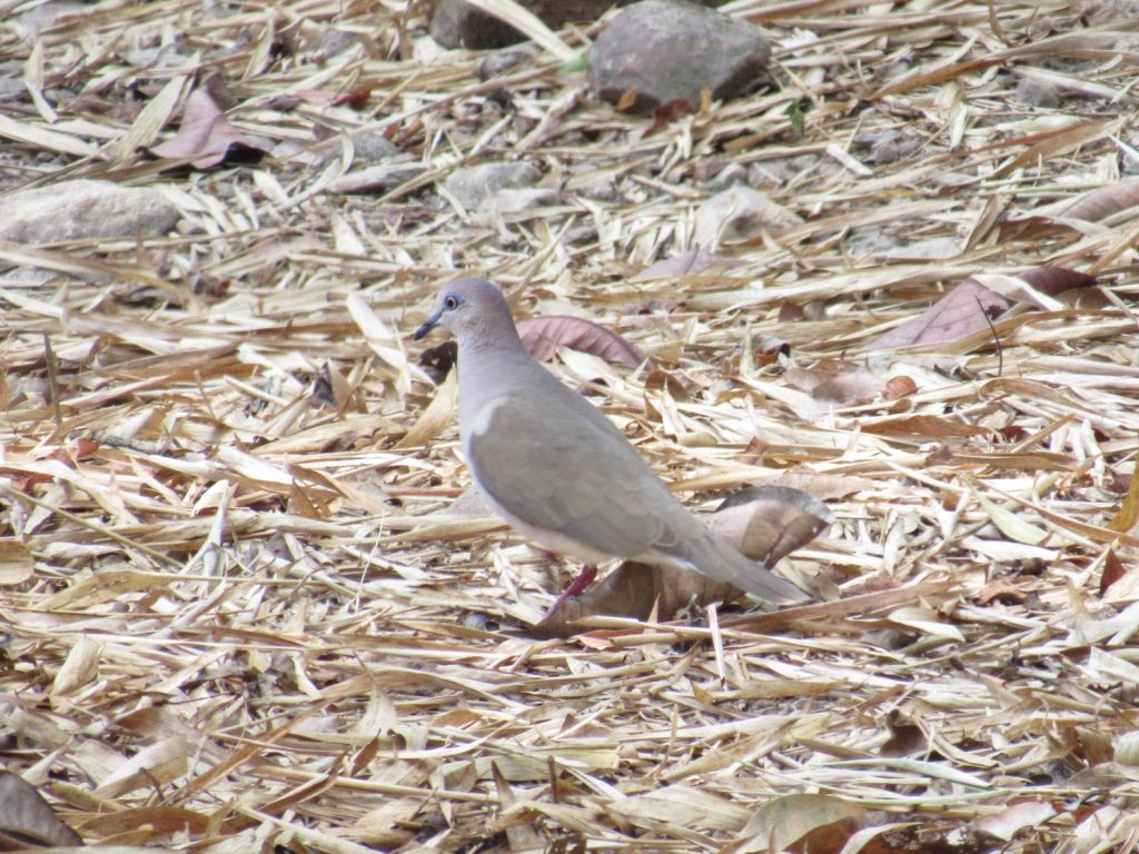 Leptotila verreauxi White-tipped Dove - Jose L. Ropero