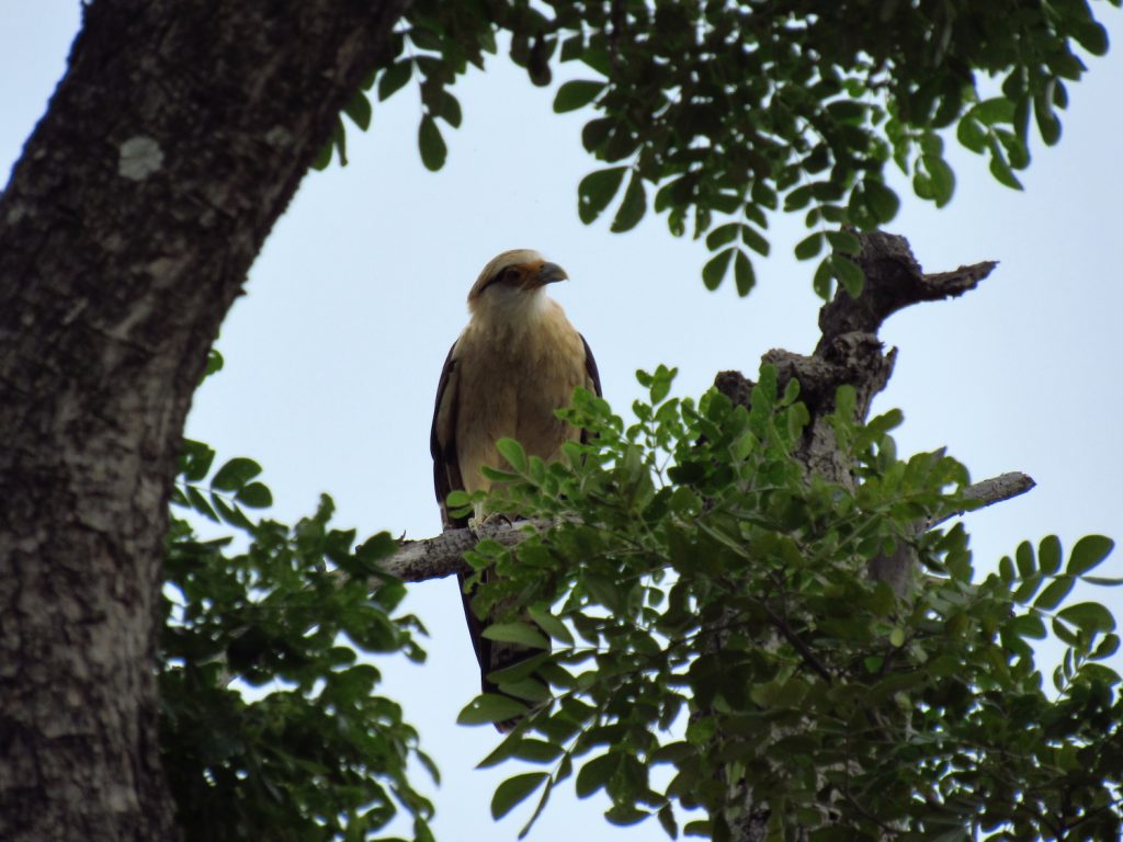 Milvago chimachima Yellow-headed Caracara - Jose L. Ropero