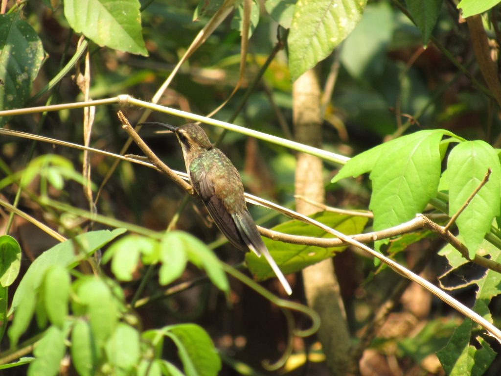 Phaethornis anthophilus Pale-bellied Hermit - Jose L. Ropero