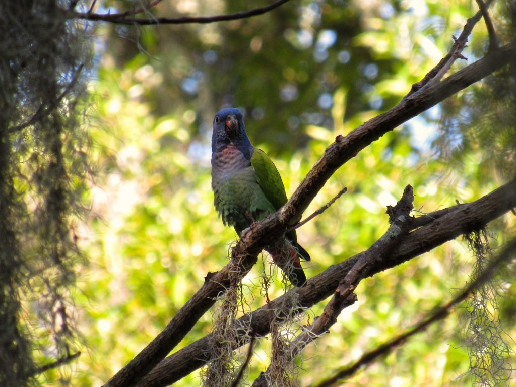 Pionus menstruus Blue-headed Parrot - Jose L. Ropero