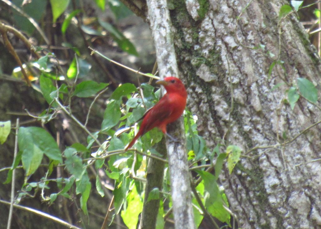 Piranga rubra Summer Tanager - Jose L. Ropero