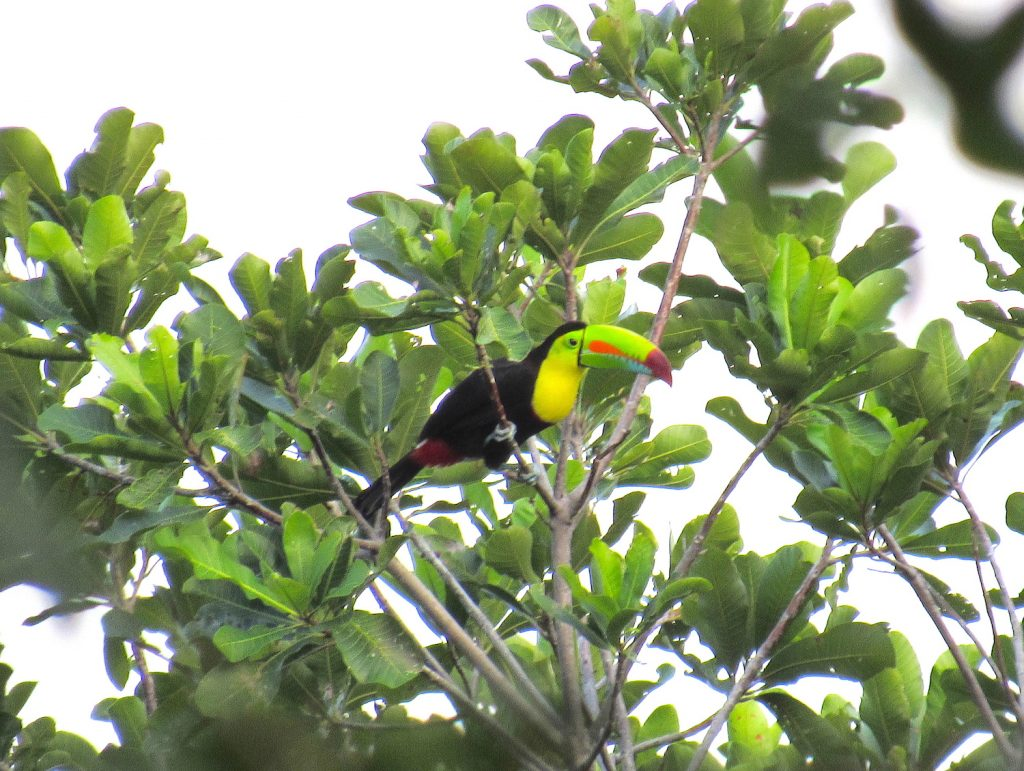 Ramphastos sulpfuratus Kell-billed Toucan - Jose L. Ropero