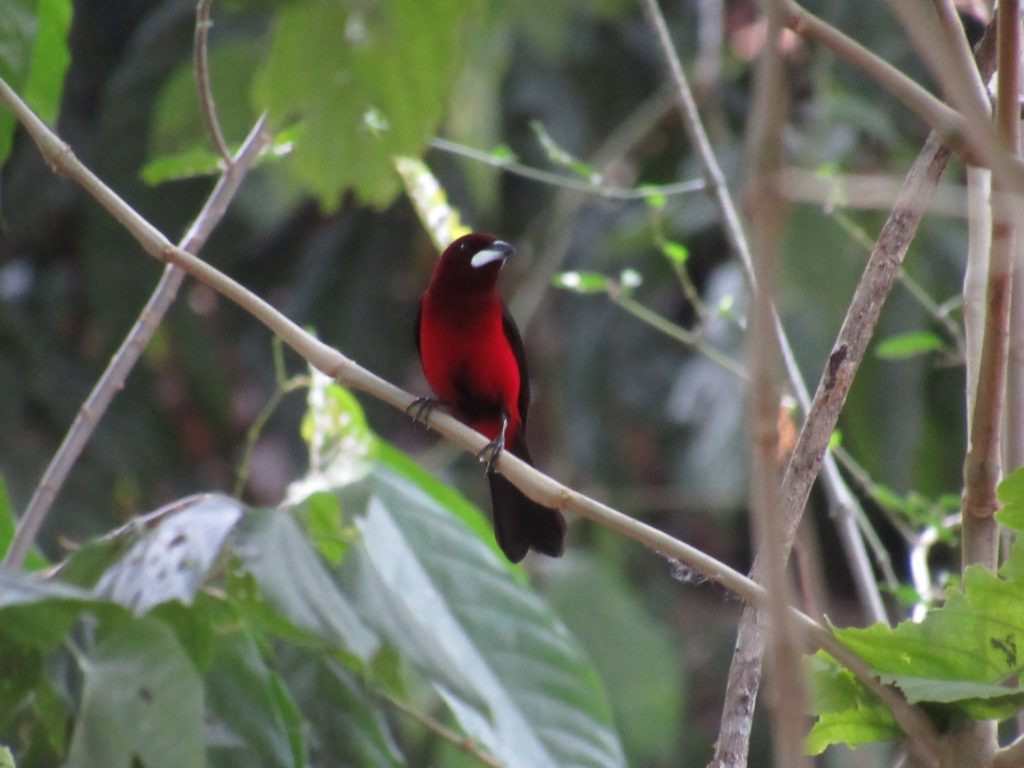 Ramphocelus dimidiatus Crimson-backed Tanager - Jose L. Ropero
