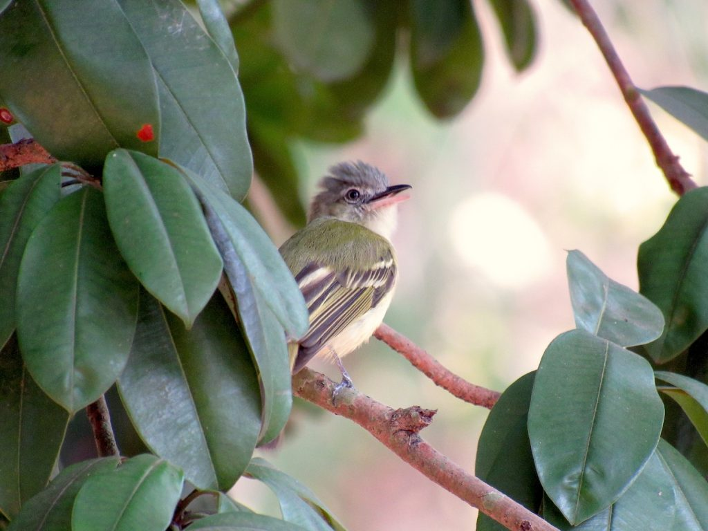 Tolmomyias sulphurescens Yellow-olive Flycatcher - Jose L. Ropero